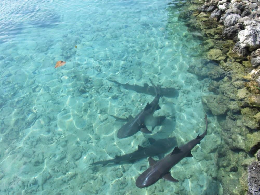 pulau-menjangan-besar-penangkaran-hiu-kepulauan-karimunjawa-bermain-bersama-hiu-hiu-lucu